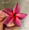 dp Violet Plumeria Fresh Cutting