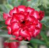 Victory Adenium flower photo
