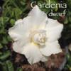 Gadenia Dwarf Adenium flower photo