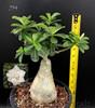 Gardenia Dwarf Adenium photo