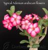 Adenium arabicum flower photo
