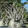 db Compact Adenium arabicum photo