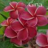 "Gina Plumeria 16-24"" large grafted single  tip"