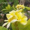Kings Gold Plumeria flower photo