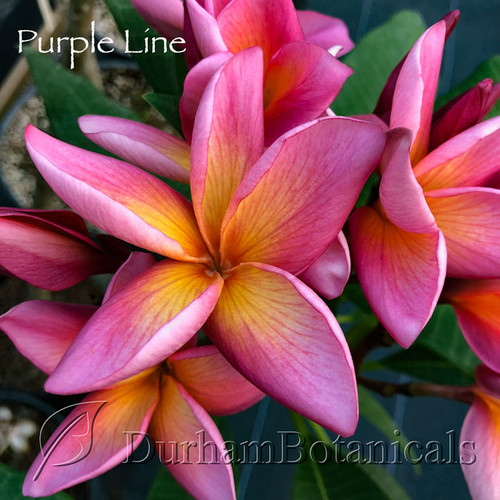 "Purple Line Plumeria 24""-28"" double tip"