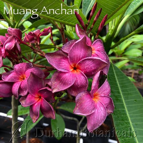 Muang Anchan Plumeria Flower