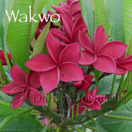 "Wakwo Red Plumeria 18-22"" grafted single tip"