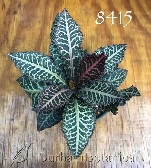 Euphorbia francoisii red leaf Thai hybrid