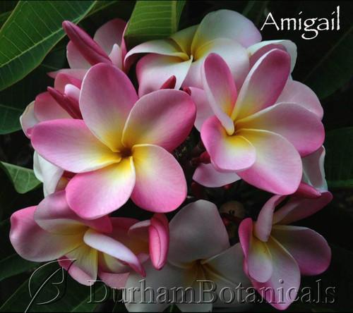 Amigail Plumeria Flower