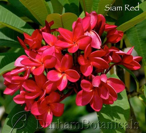 Siam Red Plumeria Flowering photo