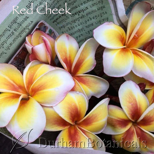 "Red Cheek Plumeria 24-28"" Single Tip"