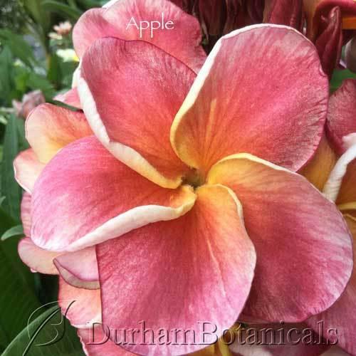 Apple Plumeria Flower
