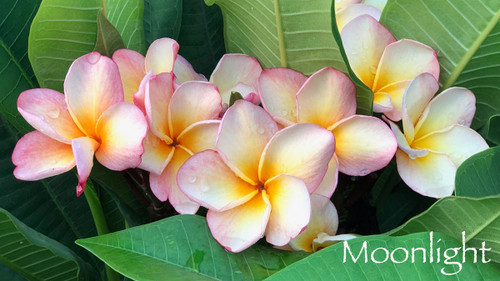 Moonlight Plumeria Flower