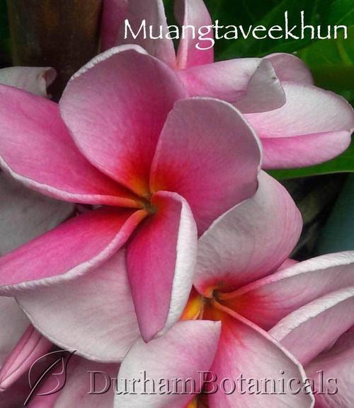 Muangtaveekhun Plumeria Flower