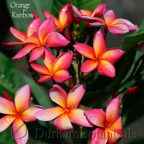 "Orange Rainbow Plumeria 27"" Single Tip"