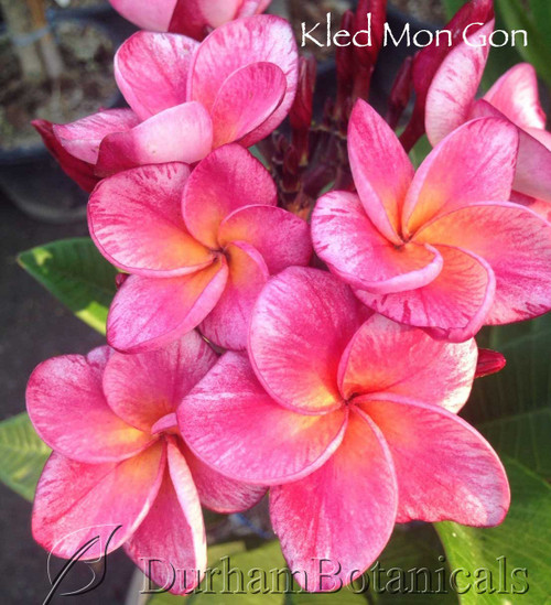 "Kled Mon Gon Compact Plumeria 23"" single tip grafted"