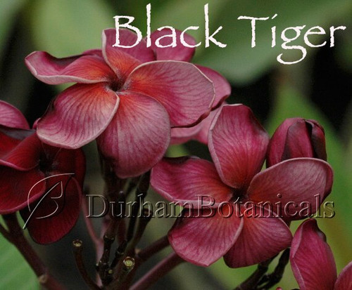 Black Tiger Plumeria Flowers