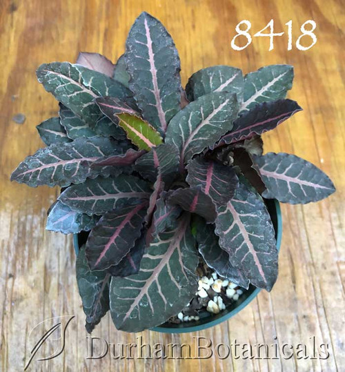 Euphorbia francoisii red Thai hybrid plant