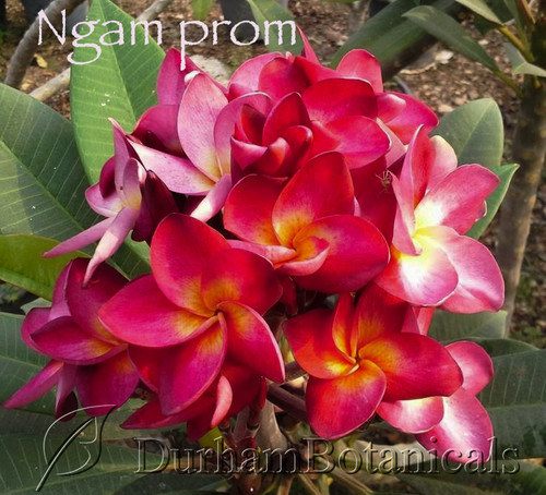 """Ngam promPlumeria large 16-18"""" grafted triple  tip"""