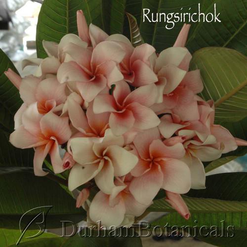 Rungsirichok Plumeria flowering photo