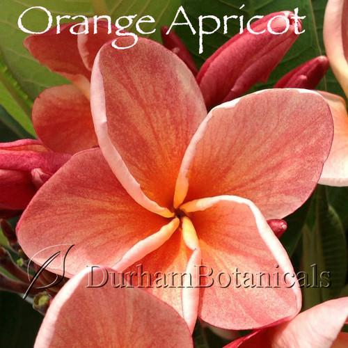 Orange Apricot Plumeria flower photo