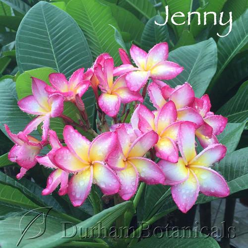 Jenny Plumeria flower photo