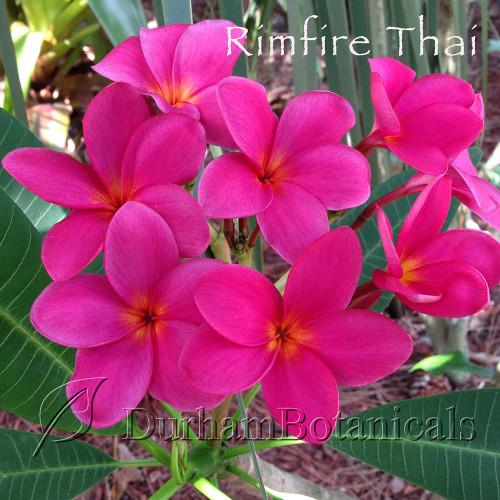Rimfire Thai Variety Plumeria flowering photo