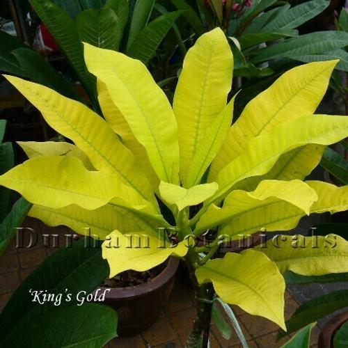 Kings Gold Plumeria foliage photo