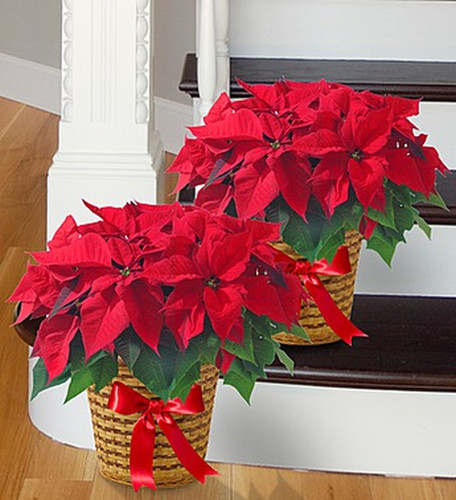Chicago Classic Red Poinsettia