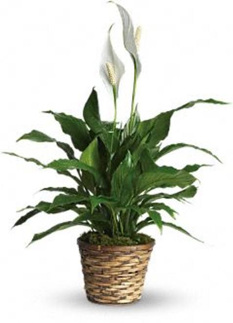 "Spathiphyllum Plant ~ The Best ""Oxygen Producer"""