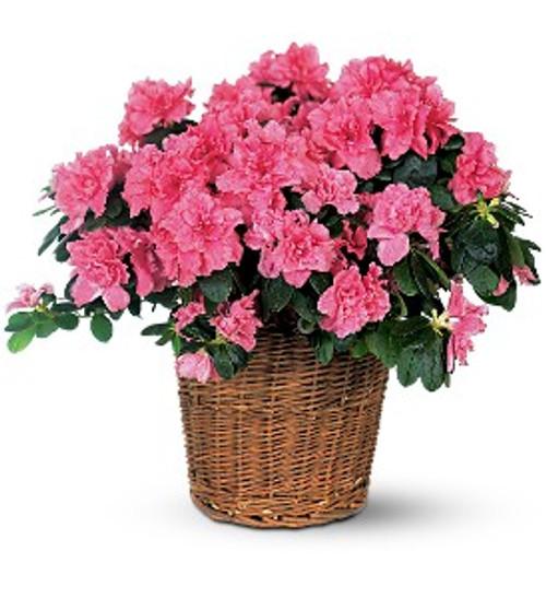 Azalea Plant ~ Oxygen Producer