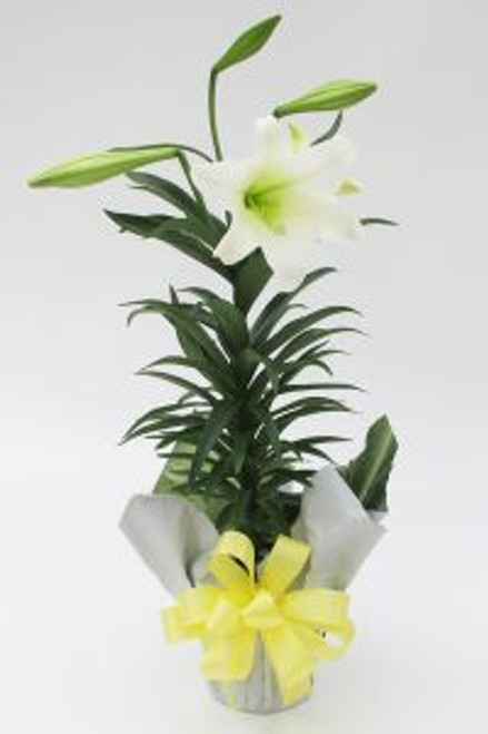 Chicago Easter Lily