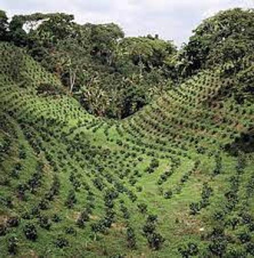 Indian coffee farm