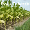 Essex Tobacco (DL)