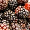 Boysenberry (JF)