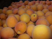 Apricot (FA)