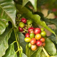Coffee Kona (TDA)
