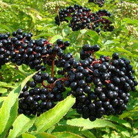 Elderberry (FF)