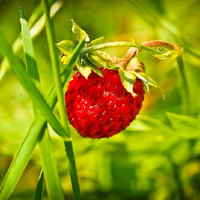 Wild Strawberry (MB)