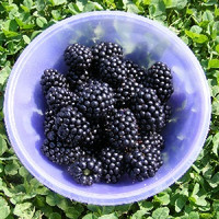 Organic Boysenberry (NF)