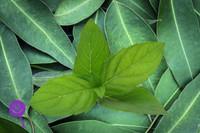 Eucalyptus Mint (WFSC)