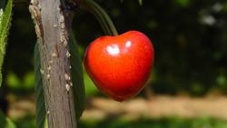 Cherry (FA)