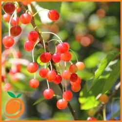 Wild Cherry (RF)