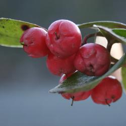 Organic Wintergreen (NF)