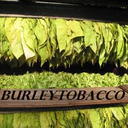 Burley Tobacco (DL)