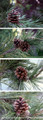 Rustic Northwest Pine Cones