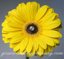 Acrylic Crystal Flower Pin in a Gerbera Daisy