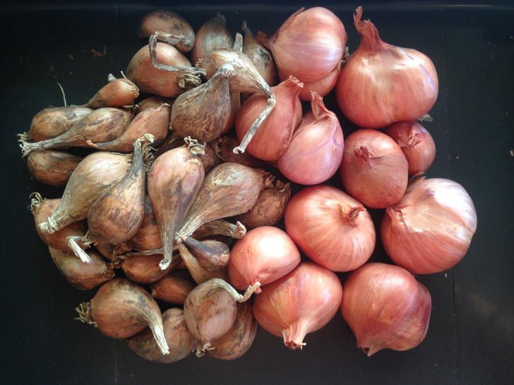 Shallot Starter Pack Organic Garlic Seed
