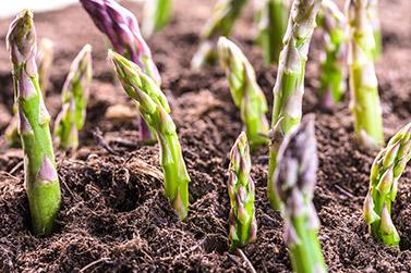 organic-potato-onion-growing-guide