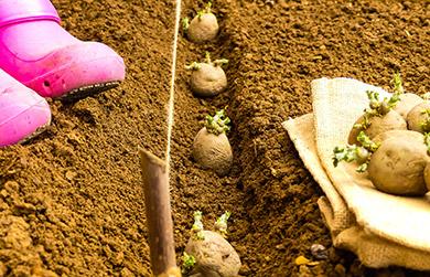 organic-sweet-potato-growing-guide